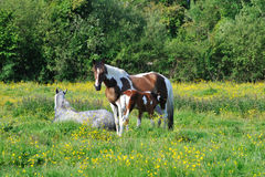 Horses on the green meadow Stock Images