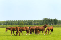 Horses in green meadows royalty free stock images