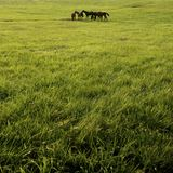 Horses in green pasture Royalty Free Stock Photo