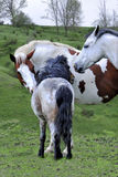 Horses In Green Pasture. Horses enjoying themselves inbeautful green pastures stock photo