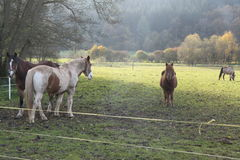 Horses in a green pasture. A picture of four horses in different poses on a pasture, two facing forward and two facing backward while one horse is grazing with a royalty free stock photo