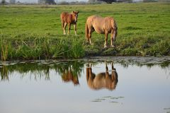 Horses. On green pasture at the watering hole Stock Images