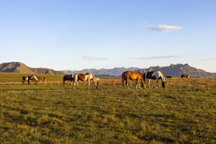 Horses on green pastures. Drakensberg, South Africa Royalty Free Stock Images