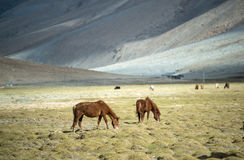 Horses on the green pastures of dry Ladakh Stock Image