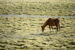 Horses on the green pastures of dry Ladakh Royalty Free Stock Images
