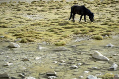Horses on the green pastures of dry Ladakh Royalty Free Stock Photo