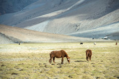 Horses on the green pastures of dry Ladakh Stock Photo