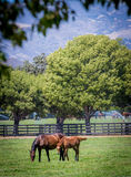 Horses in green pastures. Mother and maine in the green pastures feeding off the land in Santa Ynez farms Royalty Free Stock Photo