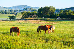 The horses on the green prairie sunrise Royalty Free Stock Photo