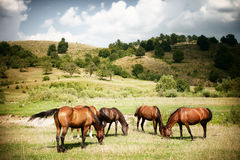 Horses on green rural land stock photography