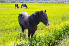 Horses in green yellow spring meadow Royalty Free Stock Images