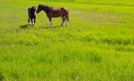 Horses in green yellow spring meadow Royalty Free Stock Image