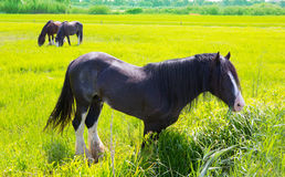 Horses in green yellow spring meadow Stock Images