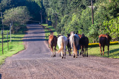 Horses Grooms Walking Countryside Road Royalty Free Stock Photo
