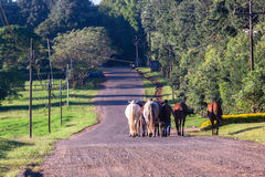 Horses Grooms Walking Countryside Road Royalty Free Stock Photos