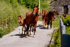 Horses group with foals. Horses with foal on the way to the stable Royalty Free Stock Images