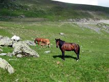 Horses. Group of Horses on mountain pasture land Royalty Free Stock Photo