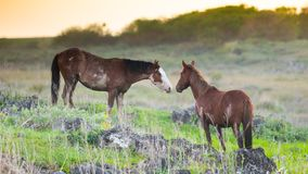 Horses greeting each other Easter Island stock image