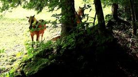 Horses haflinger resting stock video