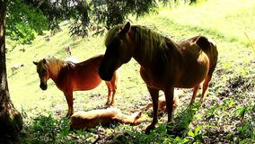 Horses haflinger resting stock video footage