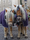 Horses of a hansom cab. In Salzburg royalty free stock photos