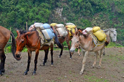 Horses with hard burden. Nepal Stock Images