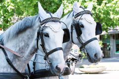 Horses in harness Royalty Free Stock Image