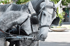 Horses in harness Stock Photos