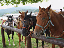 Horses in harness Royalty Free Stock Photography