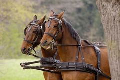 Horses with harness Royalty Free Stock Photo