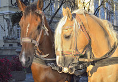 Horses in harness Royalty Free Stock Photos