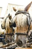 Horses in the harness. Two brown horses in a harness at the hackney in the street of Salzburg Royalty Free Stock Image