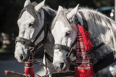 Horses harnessed and decorated Royalty Free Stock Photography