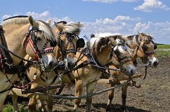 Horses harnessed in a field Royalty Free Stock Photography