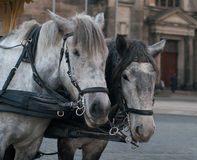 Horses harnessed to the carriage Stock Images