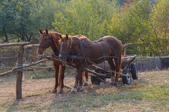 Horses harnessed to a cart on the farm Royalty Free Stock Photos