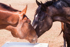 Horses Heads Affections Closeup Stock Photo