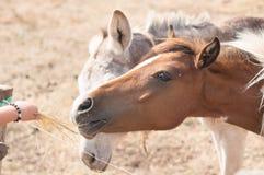 Horses heads Stock Photography