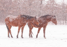 Horses in heavy snowstorm Royalty Free Stock Images