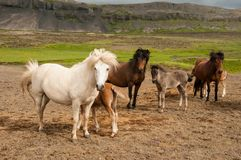 Horses and her little foals.  royalty free stock photography