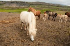 Horses and her little foals.  royalty free stock image