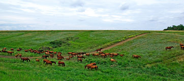 Horses herd. Royalty Free Stock Images