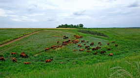 Horses herd. Royalty Free Stock Image