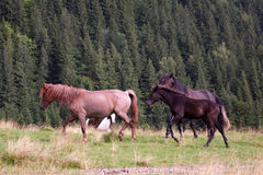 Horses herd Royalty Free Stock Photography
