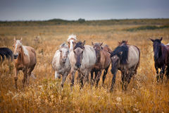 Horses herd Stock Photo