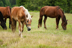 Horses herd grazing Stock Images