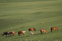 Horses herd in meadow Royalty Free Stock Photography