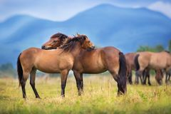 Horse herd in mountain. Horses on herd rest on spring pasture against mountain landscape royalty free stock photo