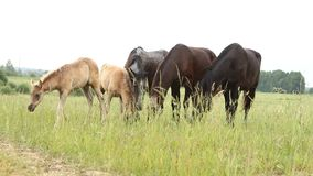 Horses herd running in the field Royalty Free Stock Photo