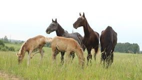 Horses herd running in the field Stock Image